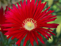 Lampranthus cv Red