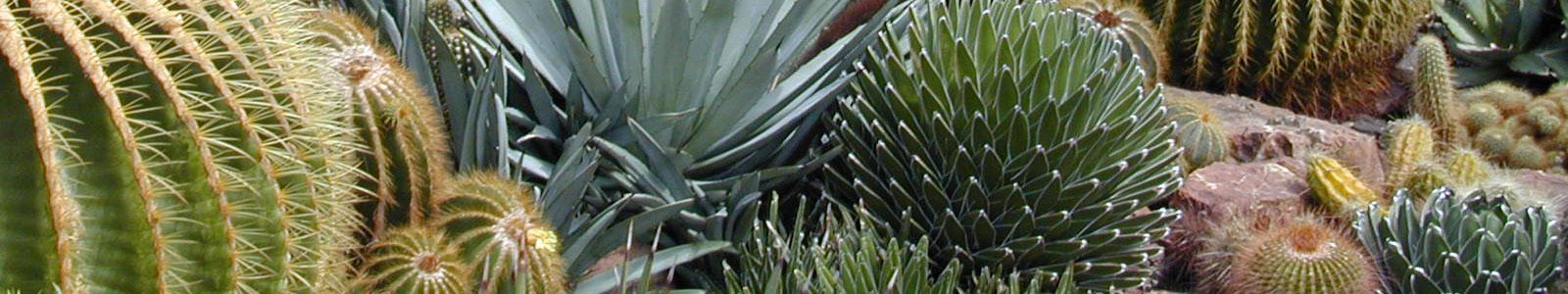 Cactofilia tutte le foto di cactus e piante grasse for Tutte le piante grasse